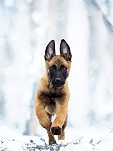 Hintergrundbilder Hunde Lauf Welpen Shepherd Malinois