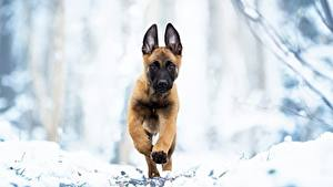 Hintergrundbilder Hunde Lauf Welpe Shepherd Malinois