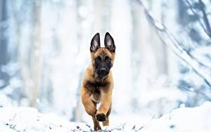 Hintergrundbilder Hunde Lauf Welpen Shepherd Malinois ein Tier