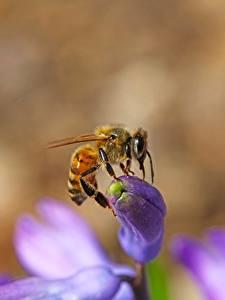 Hintergrundbilder Großansicht Bienen Insekten Unscharfer Hintergrund Tiere