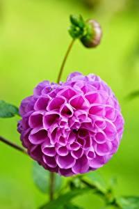 Bureaubladachtergronden Dahlia Close-up Bokeh Bloemknop Roze kleur Bloemen
