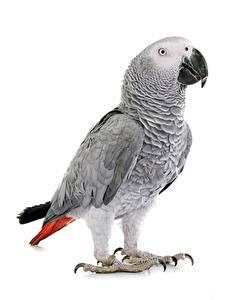 Hintergrundbilder Papagei Vogel Weißer hintergrund parrot yaco, Psittacus erithacus ein Tier