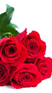 Fotos Rosen Hautnah Weißer hintergrund Rot Blumen