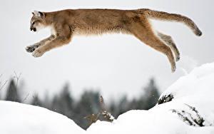 Hintergrundbilder Puma Schnee Sprung ein Tier