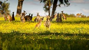 Fotos Kängurus Australien Unscharfer Hintergrund Gras ein Tier
