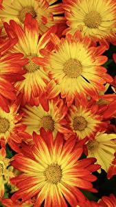 Bilder Chrysanthemen Großansicht Blüte
