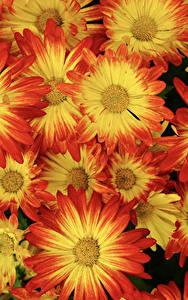 Bilder Chrysanthemen Großansicht Blumen