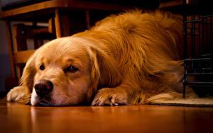 Fotos Hunde Golden Retriever Schnauze