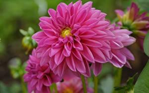 Bilder Großansicht Georginen Rosa Farbe Blumen