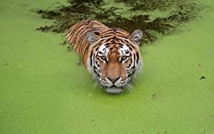 Bilder Tiger Schwimmt Sumpf ein Tier