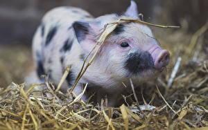 Hintergrundbilder Hausschwein Jungtiere Stroh