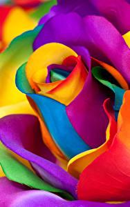 Hintergrundbilder Rose Großansicht Makrofotografie Bunte Blüte