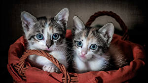 Pictures Cats Colored background Kittens Two Staring Wicker basket Lovely Animals
