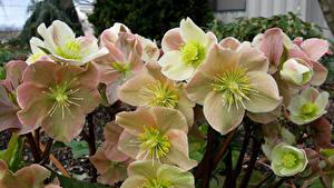 Fotos Christrosen Großansicht Blumen