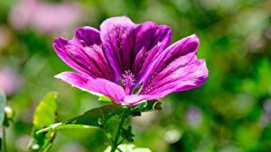 Hintergrundbilder Malven Nahaufnahme Violett Blumen