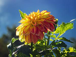 Hintergrundbilder Georginen Großansicht Blumen
