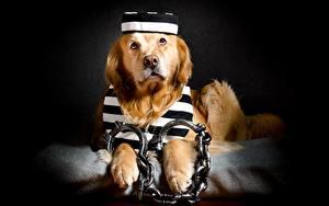 Fotos Hunde Golden Retriever Retriever Kette Komische Handschellen ein Tier