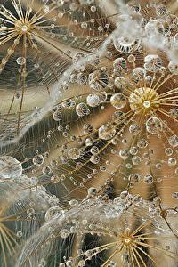Hintergrundbilder Makrofotografie Taraxacum Hautnah Tropfen Blumen