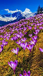 Hintergrundbilder Frühling Krokusse Gebirge Landschaftsfotografie Blumen