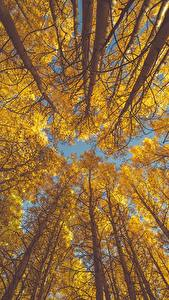 Hintergrundbilder Herbst Bäume Baumstamm Untersicht Ansicht von unten aspen