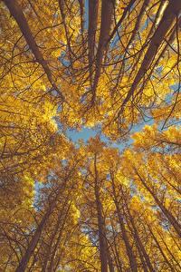 Hintergrundbilder Herbst Bäume Baumstamm Untersicht Ansicht von unten aspen Natur