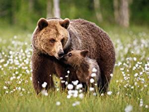 Bilder Bären Braunbär Jungtiere 2 Gras
