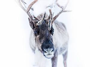 Wallpaper Deer Winter Horns Snow White background Animals