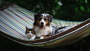 Wallpapers Dogs Cat Hammock Aussie dog animal