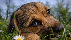 Wallpaper Dog Closeup Puppy Glance Grass Snout Cute animal