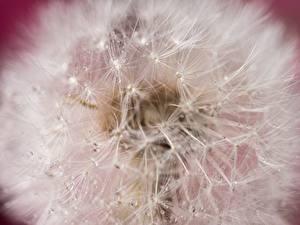 Bilder Makrofotografie Großansicht Löwenzahn Blumen