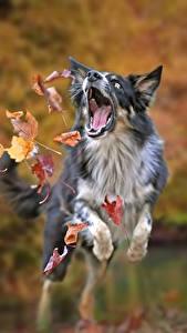 Fotos Herbst Hunde Border Collie Sprung Blatt Tiere