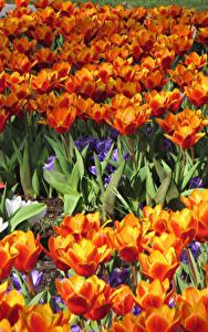 Bilder Tulpen Viel Nahaufnahme Blumen