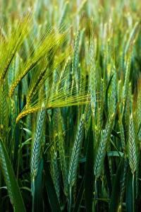 Hintergrundbilder Weizen Großansicht Grün Ähren Natur