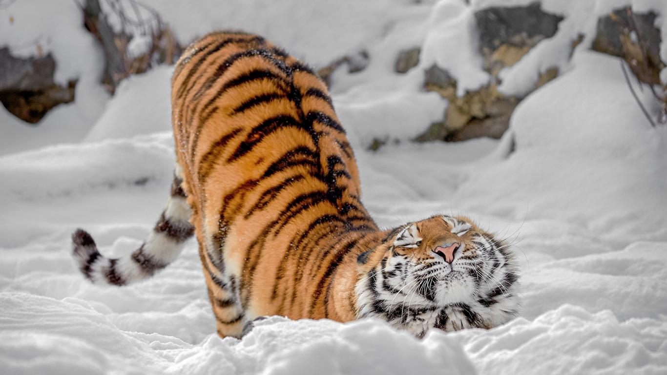 壁紙 1366x768 トラ 雪 可愛い 動物 ダウンロード 写真