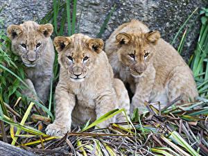Bilder Große Katze Löwe Jungtiere Drei 3