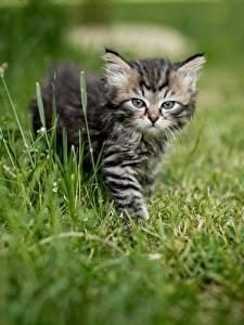 Hintergrundbilder Katze Katzenjunges Gras ein Tier