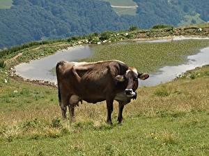 Fotos Grünland Kühe Gras Tiere