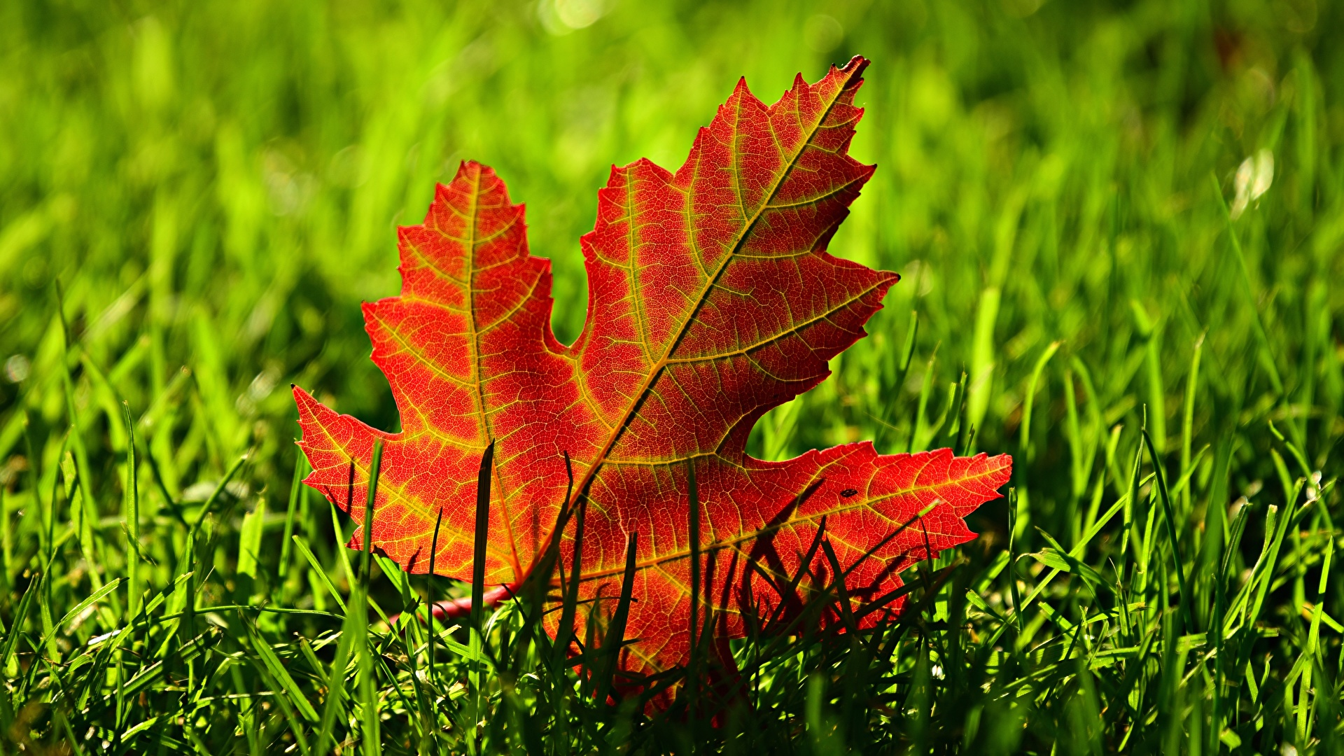 Wallpaper Leaf Acer Nature Grass Closeup 1920x1080