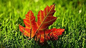 Hintergrundbilder Hautnah Blatt Gras Ahorn Natur