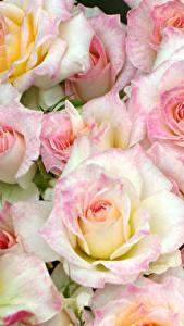 Fotos Rose Großansicht Viel Blüte