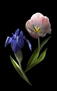 Bilder Tulpen Schwertlilien Großansicht Schwarzer Hintergrund 2 Blumen