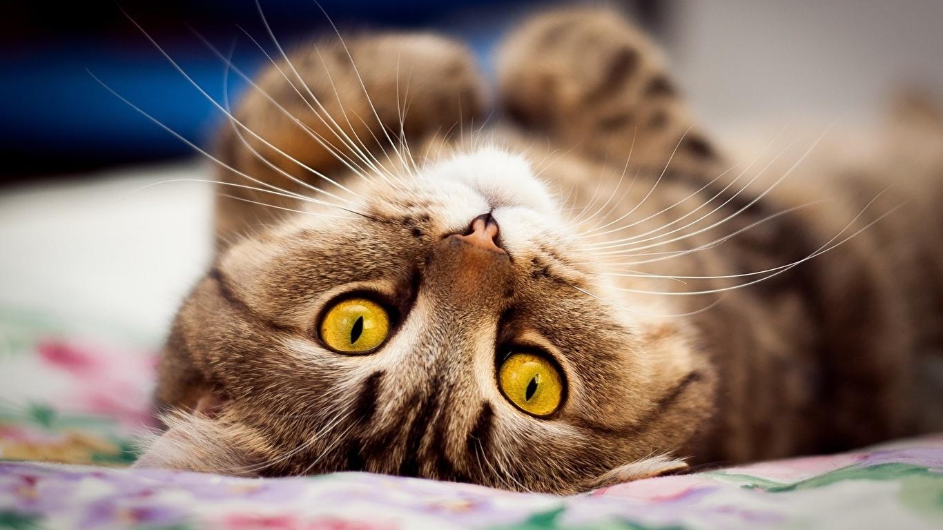 壁紙 1366x768 飼い猫 凝視 の洞毛 動物のスナウト 可愛い 動物 ダウンロード 写真