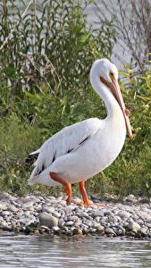 Wallpapers Bird Pelicans Beak Animals