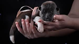 Hintergrundbilder Hunde American Akita Welpe Hand Tiere