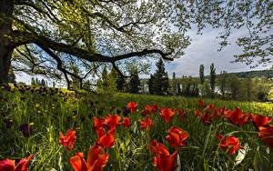 Bilder Deutschland Frühling Tulpen Ast Gras Mainau Island Natur