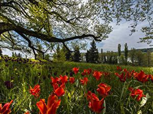 Bilder Deutschland Frühling Tulpen Ast Gras Mainau Island