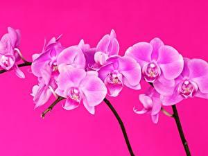 Bilder Orchideen Großansicht Rosa Farbe Blumen