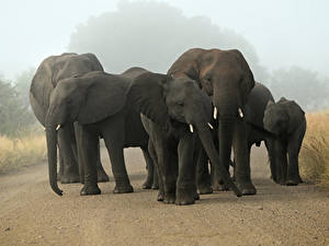 Pictures Elephants Cubs Animals