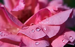 Fotos Rose Großansicht Makro Rosa Farbe Blütenblätter Tropfen Blumen