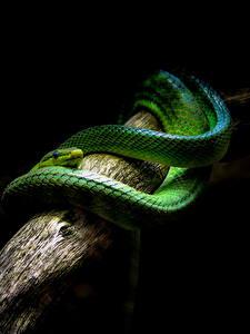 Bilder Schlangen Grün Ast Tiere